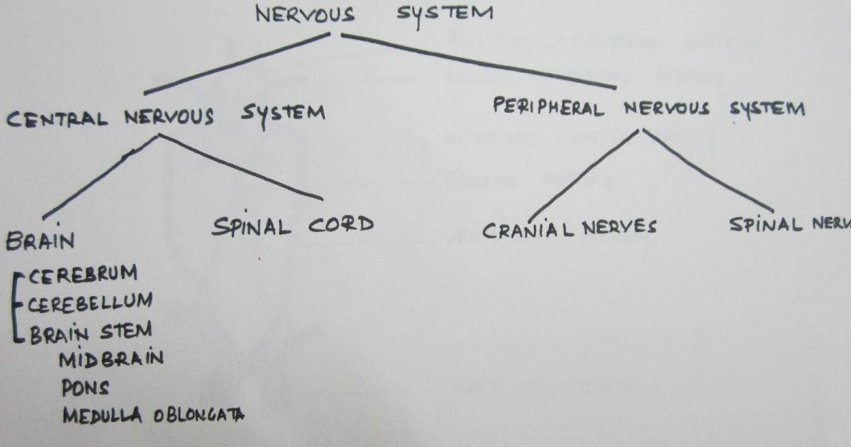 neuroanatomy study guide